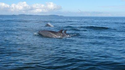 Няколко делфина подаващи се над водата