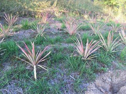 Три реда от растения, приличащи на лук, но с повече листа